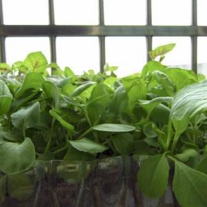 阳台种植盆栽蔬菜